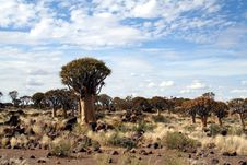 Free Quiver Tree Forest Royalty Free Stock Photos - 5839588