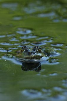 Free Frog Stock Image - 5839981