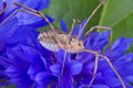 Free Daddy Long Legs On Blue Flower Stock Photos - 5844673