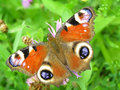Free Peacock Butterfly Royalty Free Stock Image - 5845246