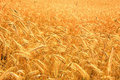 Free Harvest Of The Golden Wheat Royalty Free Stock Photo - 5849735
