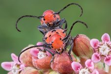 Free Longhorn Beetles Mating 2 Stock Photos - 5840893