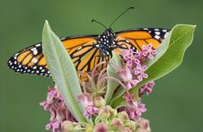 Free Monarch On Flowering Milkweed Royalty Free Stock Images - 5841069