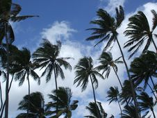 Free Coconut Trees Royalty Free Stock Photography - 5841577