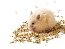 Free Hamster And Grains Royalty Free Stock Images - 5841819