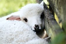 Free Silence Of The Lamb2 Stock Photos - 5842173