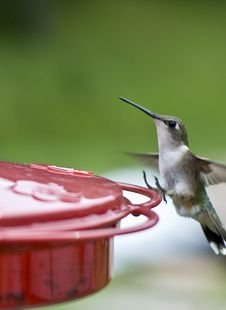 Free Humming Bird Landing Stock Photography - 5842242
