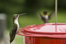 Free Humming Bird Landing Royalty Free Stock Photography - 5842367