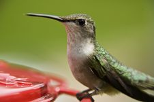 Free Humming Bird Landing Stock Image - 5842391