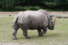Free The Approach Rhinoceros Stock Image - 5845331