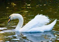 Free Swan White Royalty Free Stock Image - 5845616