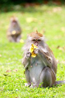 Free Monkey Eating Banana Royalty Free Stock Photography - 5845657