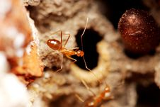 Free Weaver Ant Stock Images - 5845814