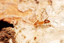 Free Weaver Ant Royalty Free Stock Photo - 5845835