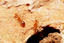 Weaver Ants Royalty Free Stock Images