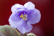 Free Blue Violet On Dark Red Stock Images - 5846074