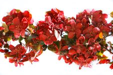 Free Branch Of Red Flowers Royalty Free Stock Photos - 5846188
