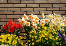 Free Daffodils And Brick Wall Stock Images - 5846244