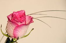Free Rose With Waterdrops Royalty Free Stock Photos - 5846298