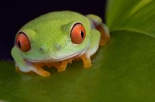 Free Red-eyed Tree Frog On Leaf Stock Images - 5846364