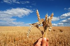 Free Grain And Hand Stock Photography - 5846552