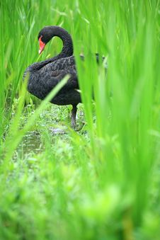 Free Black Swan Royalty Free Stock Photos - 5847048