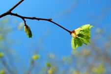 Free Spring Leaf Royalty Free Stock Images - 5848219