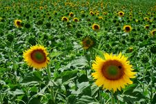 Free Sunflower Field Royalty Free Stock Photography - 5848367