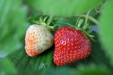 Free Ripe And Unripe Strawberries Royalty Free Stock Photography - 5848557