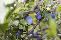 Free Plums Cv Stanley Was Growing Organic Stock Photo - 58481090