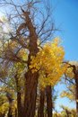 Free Golden Yellow Poplar Tree And Blue Color Sky Royalty Free Stock Photography - 5853257