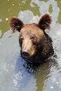 Free Brown Bear Stock Photos - 5853383