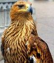Free Bald Eagle Royalty Free Stock Photos - 5858608