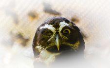Free Owl Stock Photo - 5850990