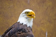 Free Eagle Royalty Free Stock Photography - 5851167