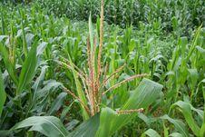 Free Corn Flowering Royalty Free Stock Image - 5851966