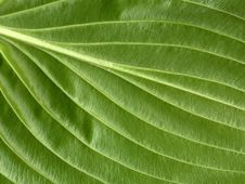 Free Leaf Veins Royalty Free Stock Photo - 5852065