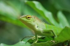 Free Lizard Aiming Stock Photo - 5852550