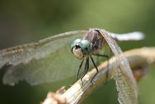 Free Dragonfly On Branch Stock Images - 5852654
