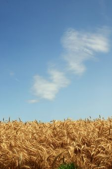 Free Wheat And Sky Royalty Free Stock Image - 5852696