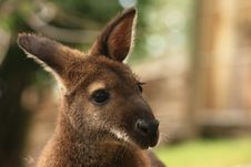 Free Wallaby Royalty Free Stock Photos - 5852788