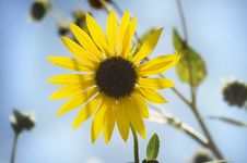 Free Sun Flower Royalty Free Stock Photography - 5853187