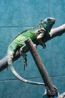Free Iguana Stock Photos - 5853203