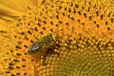 Free Bee On Sunflower Stock Image - 5853251