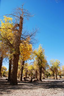 Free Golden Yellow Poplar Tree And Blue Color Sky Stock Photography - 5853252
