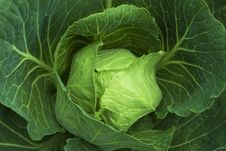 Free Cabbage Royalty Free Stock Photo - 5853265