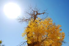 Free Golden Yellow Poplar Tree And Blue Color Sky Royalty Free Stock Photography - 5853267