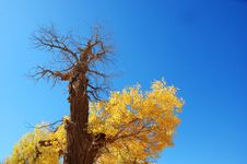 Free Golden Yellow Poplar Tree And Blue Color Sky Stock Image - 5853271