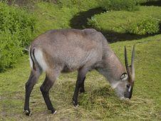 Free Antelope Stock Photos - 5853493