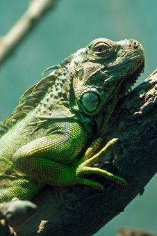Free Iguana Royalty Free Stock Image - 5853516